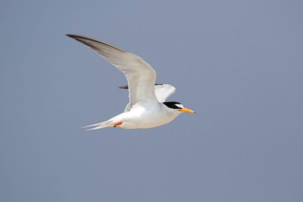 least tern 2
